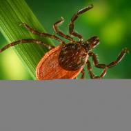 Lyme (Kene) Hastalığı